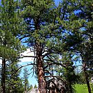 Tree thru the rocks,Peavine Mountain,Reno Nevada USA by Anthony & Nancy  Leake