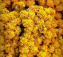 Yellow Yarrow by paintingsheep