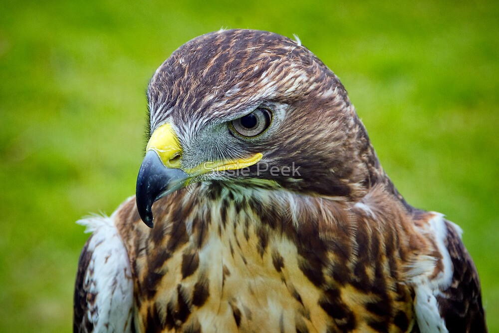 Stockland Fair ~ Falcon  by Susie Peek