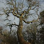 Oak Tree, Dunollie Woods by cuilcreations