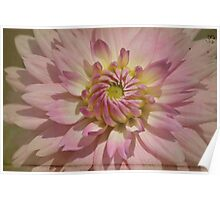 Dahlia on Parchment dramatic pink close up.  Photograph. Poster