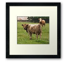 Domestic cows Framed Print