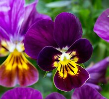 Violet Pansies by Debbie Cato