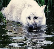 Wolf on the water by Alan Mattison
