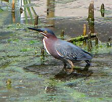 Green Heron by kimbarose