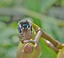 An Orchid For M'Lady - Jumping Spider - Phidippus audax by MotherNature