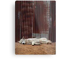 White Dingo Metal Print