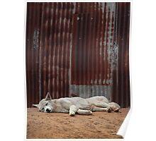 White Dingo Poster