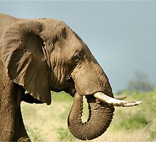 THE AFRICAN ELEPHANT IN PROFILE – Loxodonta Africana - AFRIKA OLIFANT by Magriet Meintjes