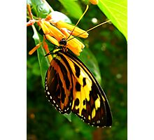 Common Tiger Glassywing Photographic Print