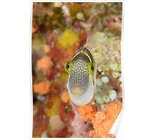 Mimic filefish - Paraluteres prionurus Poster