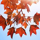 Sunlight on Red Leaves by Natalie Kinnear