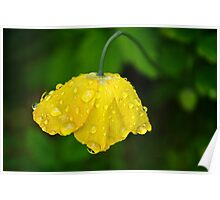Welsh Poppy In The English Rain Poster