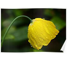 Welsh Poppy In The English Rain 2 Poster