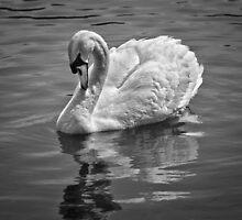 Swan  by Geoff Carpenter