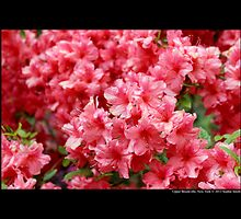 Rhododendron Alexander - Upper Brookville, New York by © Sophie W. Smith