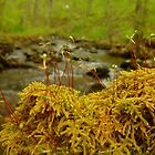 Mossy Log on the Stream by Chad Burrall