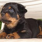 Cute Faced Rottweiler Puppy Side View by taiche