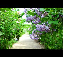 Syringa Vulgaris - Common Lilac Path - Planting Fields Arboretum State Historic Park - Upper Brookville, New York by © Sophie Smith