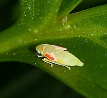 Immature Scarlet-and-green Leafhopper by Otto Danby II