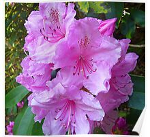 Rhododendron blossoms  Poster