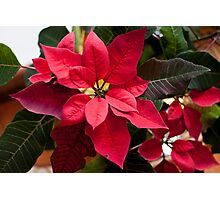 Red and Green Poinsettia Photographic Print