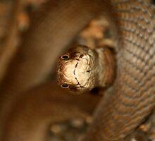 Snake.... by shila353