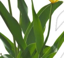 Backlit White Tulip Sticker