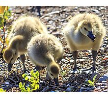 Gosling Siblings Photographic Print