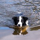Reflecting Ollie the Collie........! by Roy  Massicks