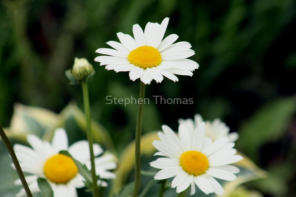 Shasta Daisies  by Stephen Thomas