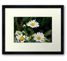Shasta Daisies  Framed Print