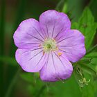 Wild Geranium in the Wood by lorilee