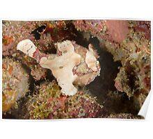Warty Anglerfish - Antennarius maculatus Poster