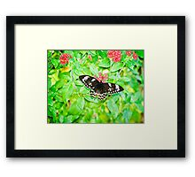 Gentle Giant - female Cairns birdwing butterfly Framed Print