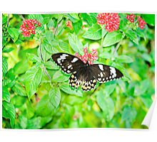 Gentle Giant - female Cairns birdwing butterfly Poster