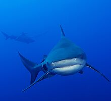 Powerful Bullshark Approach by Fiona Ayerst