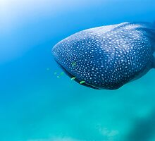 Whaleshark swimming in ambient light by Fiona Ayerst