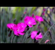 Dianthus Feuerhexe - Carnation Pink Fire Witch - Upper Brookville, New York by © Sophie W. Smith