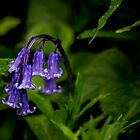 Bluebell Duebell by Matthew Ellerington