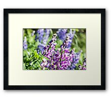 Lupine Flower Framed Print