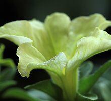 Lime Petunia by Lynn Gedeon