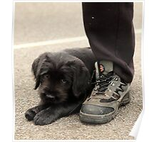 Puppy loves laces!! Poster