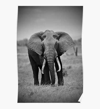 African Elephant (Loxodonta africana) Poster