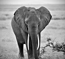 African Elephant (Loxodonta africana) by Samuel Ridge