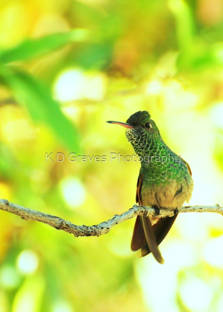 Berylline Hummingbird Perched by K D Graves Photography