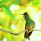 Berylline Hummingbird Perched by Diana Graves Photography