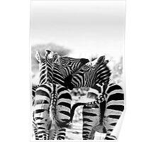 ZEBRA (Equus burchellii) Poster