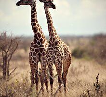 giraffe (Giraffa camelopardalis)  by Samuel Ridge