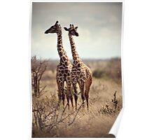 giraffe (Giraffa camelopardalis)  Poster